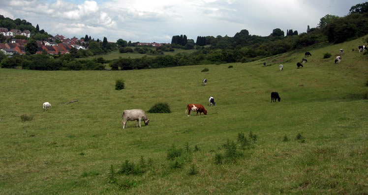 Ronkswood Hill Meadows - Cows grazing