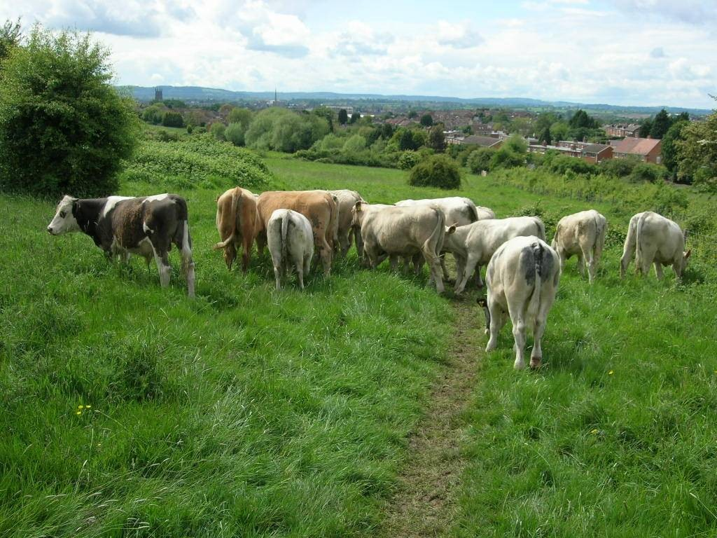 10-strong herd of hand-reared cattle has been released on Ronkswood Hill Meadows